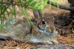 Baby Hare Royalty Free Stock Photography