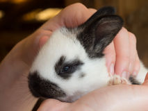 Baby hare in human hands Royalty Free Stock Image