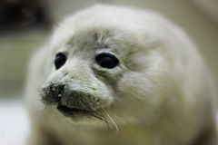 Baby harp seal on ice floe in canadian atlantic Stock Photo