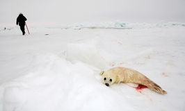Baby harp seal pup Royalty Free Stock Photos