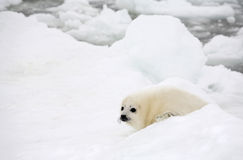Baby harp seal pup Stock Photography