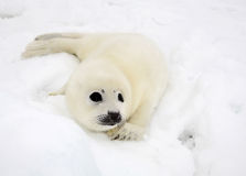 Baby harp seal pup Stock Photos