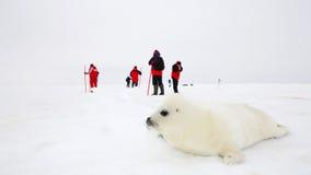 Baby harp seal pup Royalty Free Stock Image