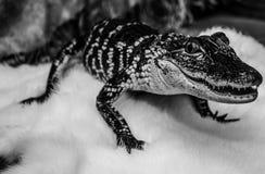 Baby-Haustier-Alligator stockfoto