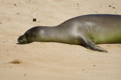 Baby Hawaiian Monk Seal Stock Photography