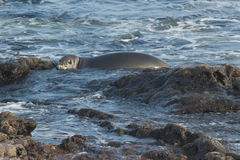 Baby Hawaiian Monk seal Royalty Free Stock Photography