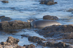 Baby Hawaiian Monk seal Royalty Free Stock Images