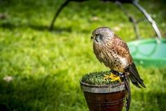Baby hawk Stock Photos