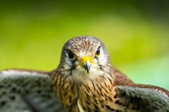 Baby hawk Stock Photography