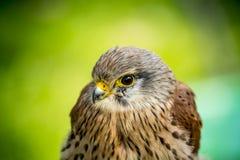 Baby hawk Royalty Free Stock Photos