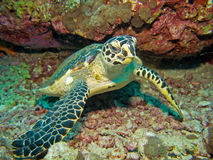 Baby hawksbill turtle Royalty Free Stock Images
