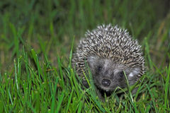 Baby hedgehog Royalty Free Stock Photography