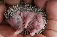 Baby hedgehog. Hedgehogs are prickly little insectivore mammals, known from Europe,Africa and Asia. Introduced in parts of the US and New Zealand Stock Photography