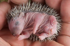 Baby hedgehog. Hedgehogs are prickly little insectivore mammals, known from Europe,Africa and Asia. Introduced in parts of the US and New Zealand Royalty Free Stock Photo