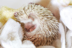 Baby hedgehog Royalty Free Stock Image