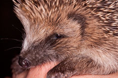 Baby Hedgehog. Close up of a baby hedgehog sitting on a hand royalty free stock images