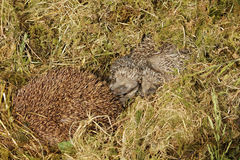 Baby Hedgehog Stock Photos