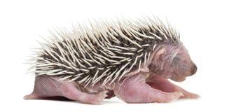 Baby Hedgehog, 4 days old Stock Image