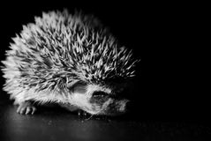 Baby hedgehog in black and white Royalty Free Stock Images