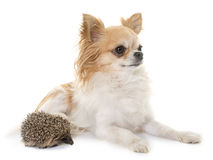 Baby hedgehog and chihuahua Royalty Free Stock Images
