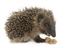 Baby hedgehog eating. In front of white background royalty free stock photo