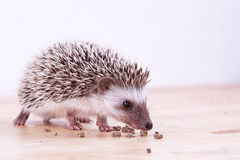 Baby hedgehog eating Stock Photos