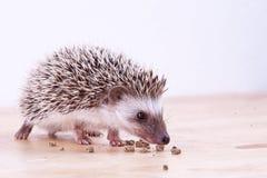 Baby hedgehog eating Stock Photos