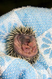 Baby Hedgehog (Erinaceus roumanicus). Baby Northern White-breasted Hedgehog (Erinaceus roumanicus royalty free stock photo