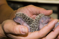 Baby Hedgehog (Erinaceus roumanicus) stock photography