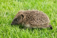 Baby hedgehog foraging for food on grass. Closeup of baby hedgehog foraging for food on grass stock photography