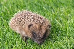 Baby hedgehog on fresh lawn. Closeup of baby hedgehog on fresh lawn royalty free stock photography
