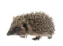 Baby hedgehog in studio. Baby hedgehog in front of white background royalty free stock photos