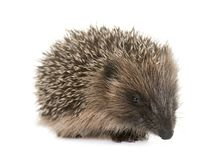 Baby hedgehog in studio. Baby hedgehog in front of white background royalty free stock images