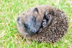 Baby hedgehog. In the garden royalty free stock photo