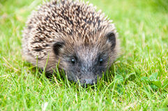 Baby hedgehog. In the garden royalty free stock images