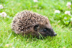 Baby hedgehog. In the garden stock images