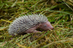 Baby hedgehog. In the green grass Stock Image