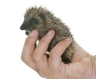 Baby hedgehog in hand. In front of white background stock images