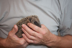 Baby Hedgehog Held in Hands Stock Photo