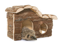 Baby hedgehog and house. In front of white background royalty free stock photo