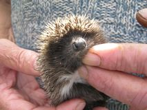 Baby hedgehog in human hands. Very small young and cute baby hedgehog with big nose and soft spikes in wrinkled rough hands of old woman stock image