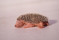 Baby hedgehog 01 Stock Image