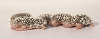 Baby hedgehog 03. Just born baby already has the Hedgehog spines royalty free stock image