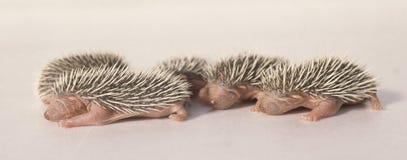 Baby hedgehog 03 Royalty Free Stock Image