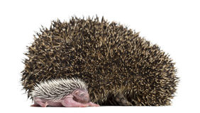 Baby Hedgehog lying next to its mother Royalty Free Stock Photography