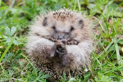 Baby hedgehog on nature closeup. Cute baby hedgehog on nature in green grass closeup stock photos
