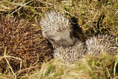 Baby hedgehog. Near his mother royalty free stock photos