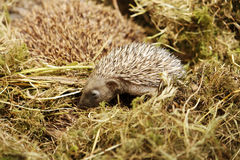 Baby hedgehog. Near his mother stock photography