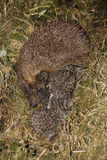 Baby hedgehog. Near his mother stock images