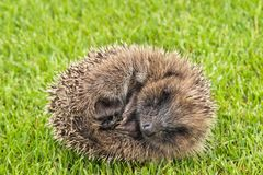 Baby hedgehog rolled up in ball on grass. Closeup of baby hedgehog rolled up in ball on grass royalty free stock photography